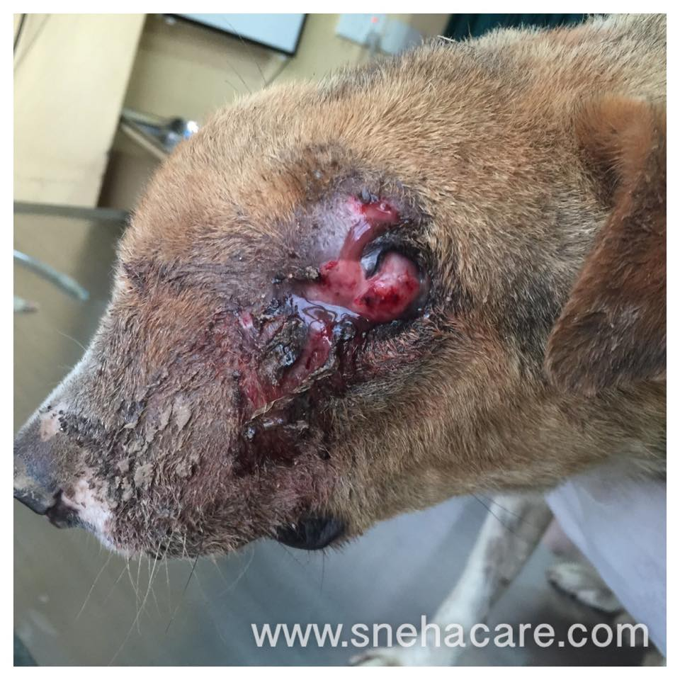 Piroxicam Dogs Squamous Cell Carcinoma