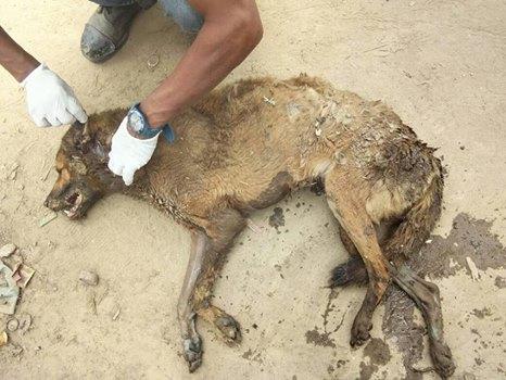 street dogs Nepal