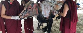 Thank youYoung Drukpa Association – YDA, Nepal,Live To Love International&Kung Fu Nuns