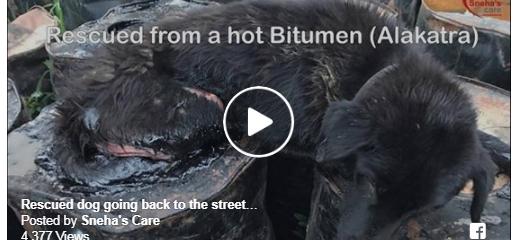 Rescued a Dog trapped in a Bitumen
