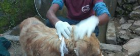 Dog Street Fight Left with Wounds Treated