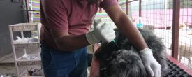 Rescued Street Dog with maggots from Swayambhu